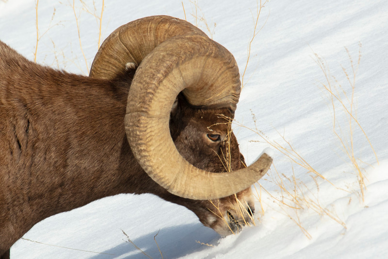 387A9309 Rocky Mtn Bighorn Sheep close.jpg
