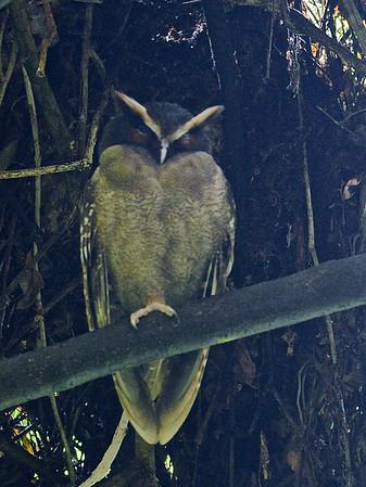 Crested Owl (Lophostrix cristata)