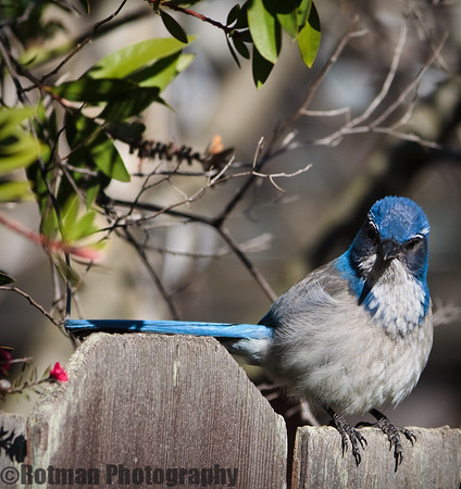 Blue Jay In our garden