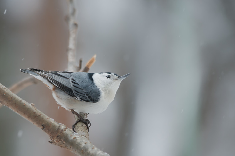 Nuthatch lookin up.jpg