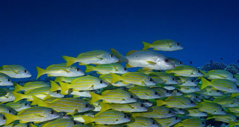 bluestripesnappers_EN-GB3161759250.jpg