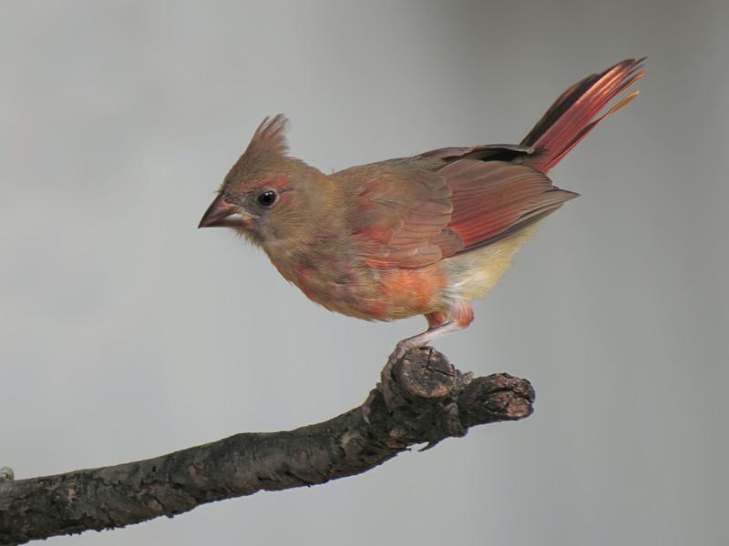sx50_cardinal_fledgling_bit_069.jpg