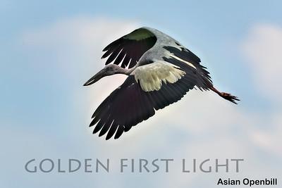 Asian Openbill, Khao Sam Roi Yod National Park, Thailand