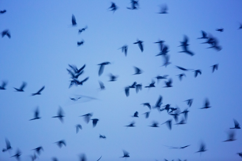 A multiple exposure of three photos shows the flurry of activity in a pre-roost gathering of Montagu's harriers. Khelcom, Senegal.
