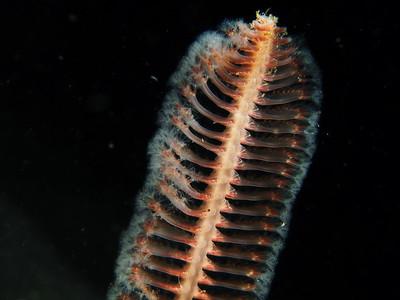 Sea Pens