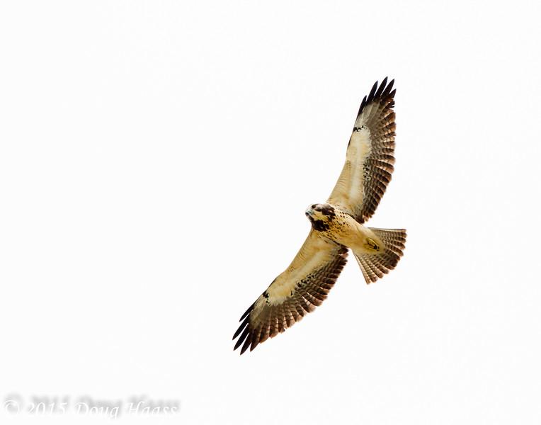 Adult Light Morph Swainson's Hawk Buteo swainsoni
