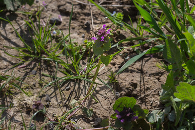 Lamier pourpre ou ortie rouge (Lamium purpureum)
