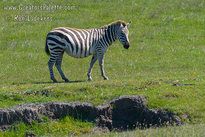Zebras  - from Hearst Ranch