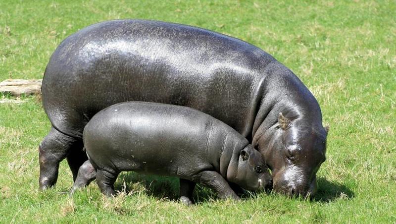 pygmy-hippo.jpg