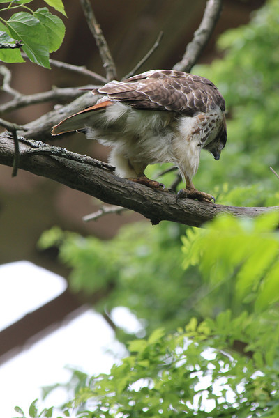 Red Tailed Hawk 2011-06-12