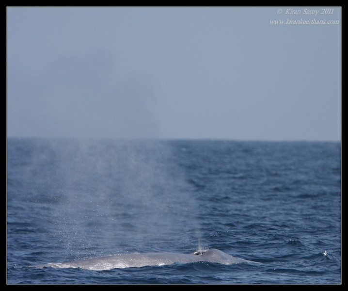 Blue Whale, Whale watching trip, San Diego County, California, July 2011