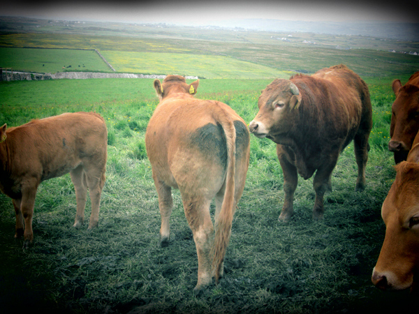 The Cows Of Moher, County Clare, Ireland