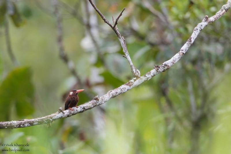 White-eared Jacamar - Amazon, Ecuador