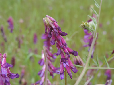 Winter Vetch (Vicia villosa)