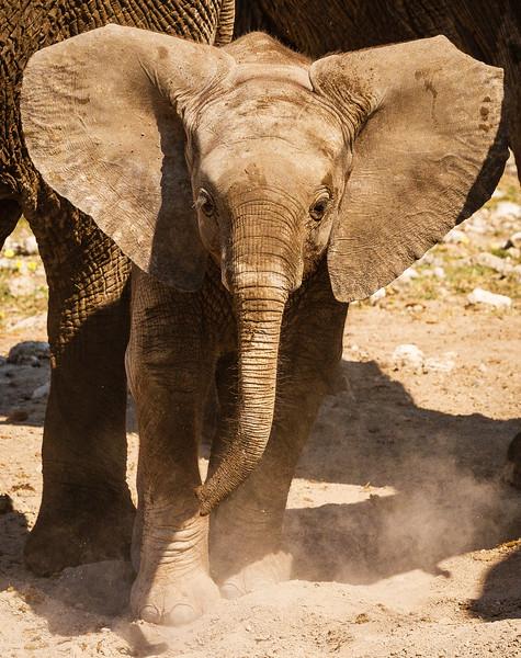 Elephant calves at Klein Okevi 2