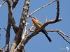 White Fronted Bee-eater 3