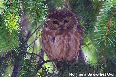 Northern Saw-whet Owl, Rifel Bird Refuge Delta, Canada