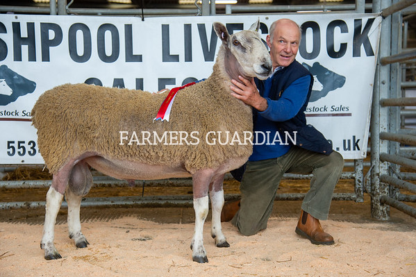 Welshpool Multi Breed Sheep Sale Sep 2021
