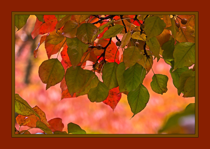 D277-2012 Callery pear tree foliage against a background of ash tree foliage. Treated with a layer of watercolor over accented edges. . Toledo Botanical Garden, Ohio October 4, 2012