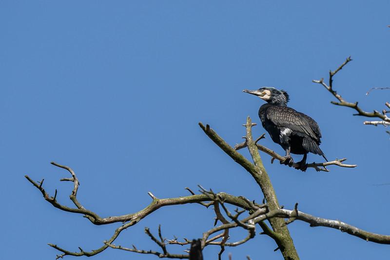 kormoran | great cormorant | phalacrocorax carbo