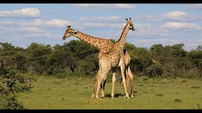 Angolan Giraffe necking (or sparring)