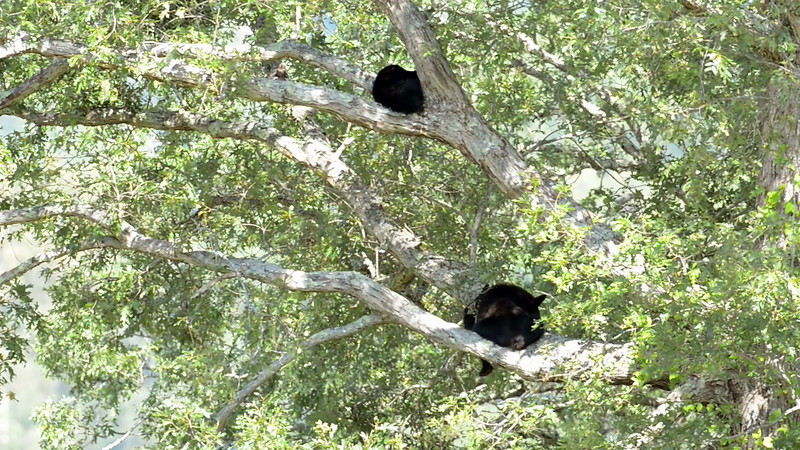 black_bear_cub_tree_03.mov