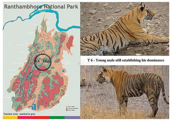 T 6 Ranthambore tiger