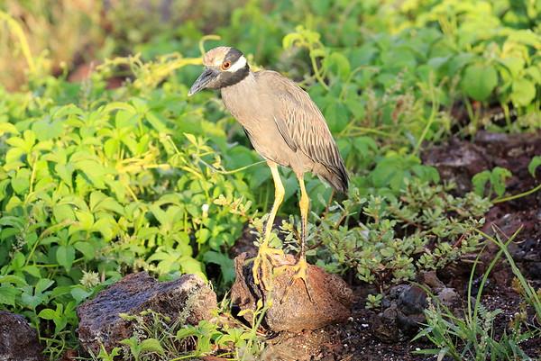 Yellow Crowned Night Heron Galapagos