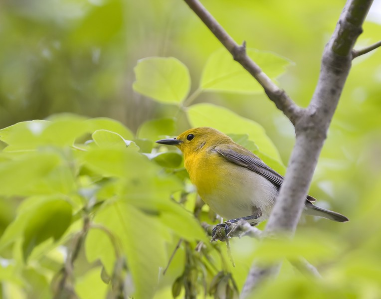 prothonotary warbler.jpg
