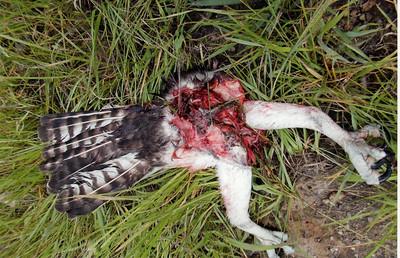 Half an Osprey.....