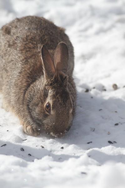 Cottontail Rabbit Skogstjarna Carlton County MN IMG_3466.jpg