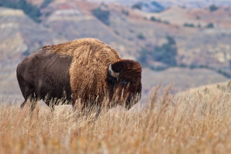Bison Teddy Roosevelt National Park ND IMG_6743.jpg