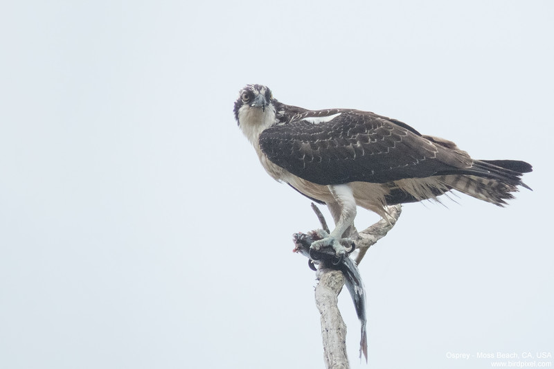 Osprey - Moss Beach, CA, USA