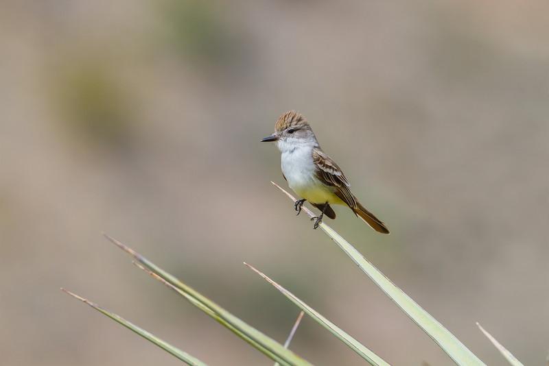 Ash-throated Flycatcher, Big Bend National Park (Texas)