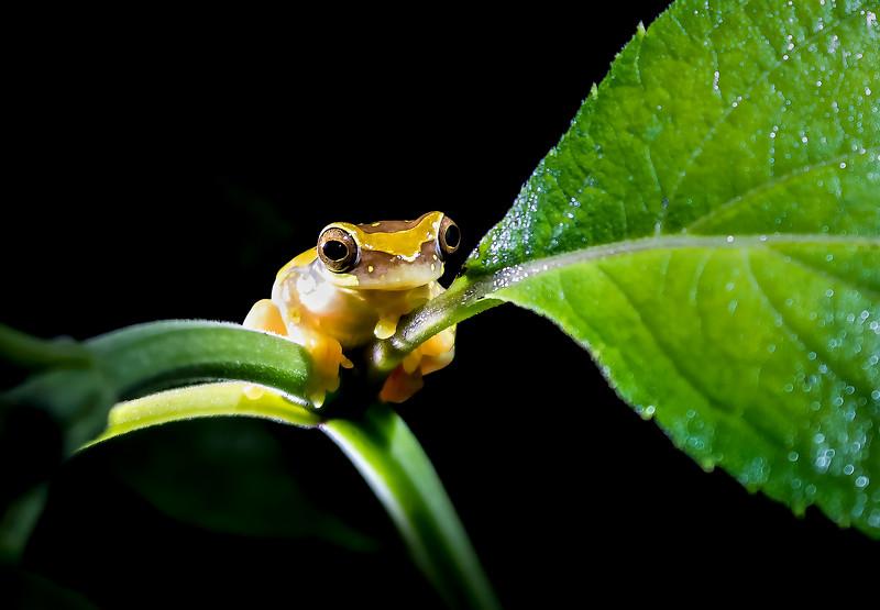 Hourglass Frog