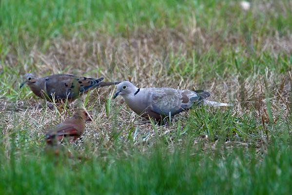 Doves, Quail, Roadrunners, Cuckoo
