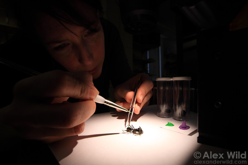 Myrmecologist Jo-anne Holley marks an unconscious ant with a unique pattern of paint for laboratory study.