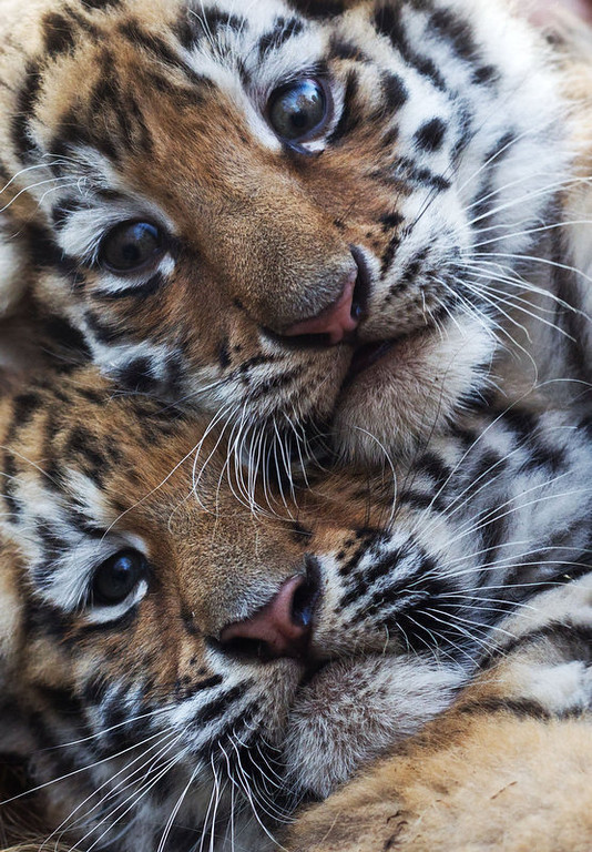 . Two young tigers are pictured on November 20, 2011 at the zoo in Magdeburg, eastern Germany. The two female tiger babies were born at the zoo on September 26, 2011, and were presented to visitors for the first time.       (JENS WOLF/AFP/Getty Images)