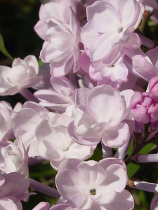 Lilacs A to Z
