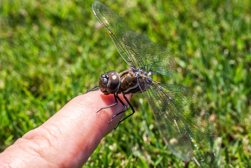 dragonfly&flowers-15.jpg