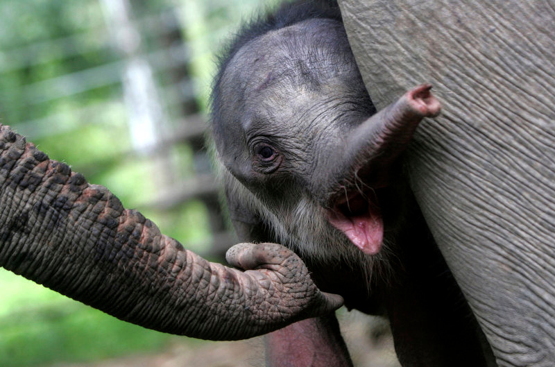 . Ayu Rosalina, a two-day old baby Sumatran Elephant, stands near her mother at Conservation Response Unit (CRU)  in Ulu Masen, Aceh Jaya, Aceh, Indonesia, Thursday, Sept 20, 2012.(AP Photo/Heri Juanda)