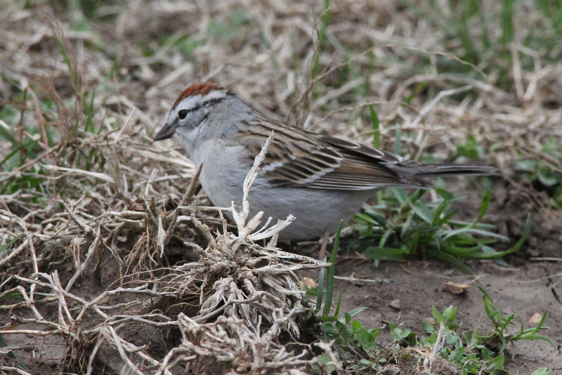 Chipping Sparrow @ Rockwoods Reservation [near Maintenance complex]