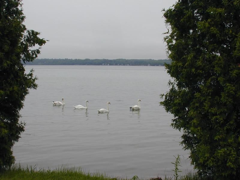 swans5.jpg
