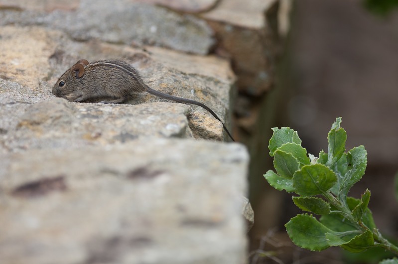 Stribet mus (Fourstriped Grass Mouse), Cape Of Good Hope NatureReserve, Cape Point