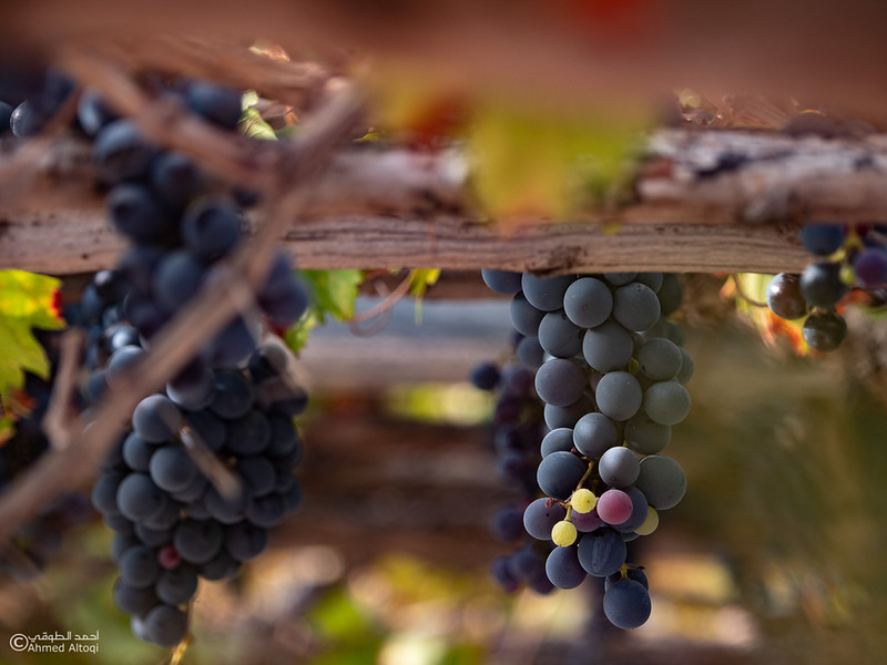 Grape - Wakan village - Nakhal227- Oman.jpg