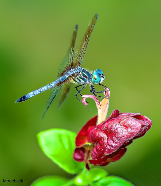Pachydiplax longipennis, Blue Dasher male