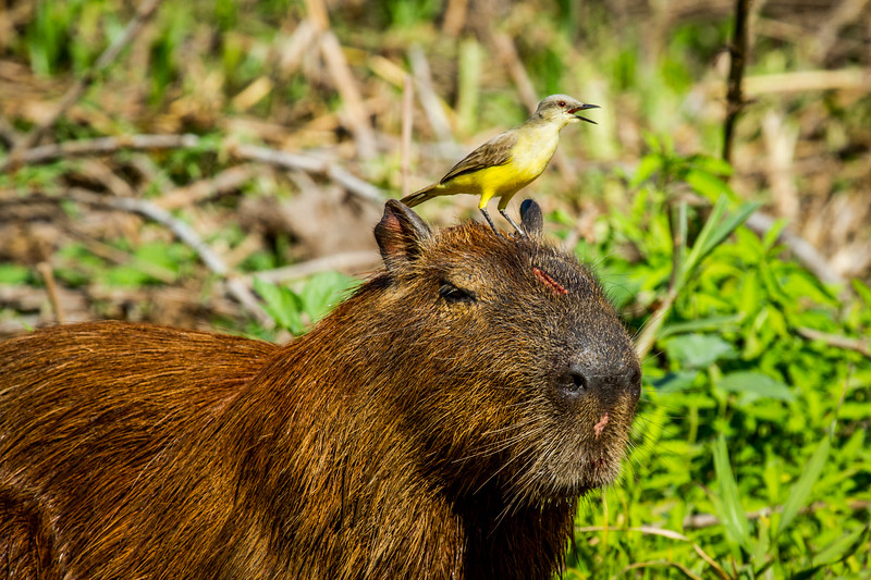 capybara (Hydrochoerus hydrochaeris) Pantanal, Poconé, Brazil. Cattle Tyrant (Machetornis rixosa) looking for insects to feed on.