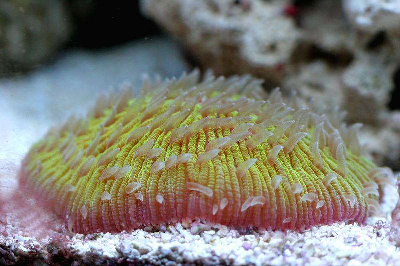 Fungia2.jpg