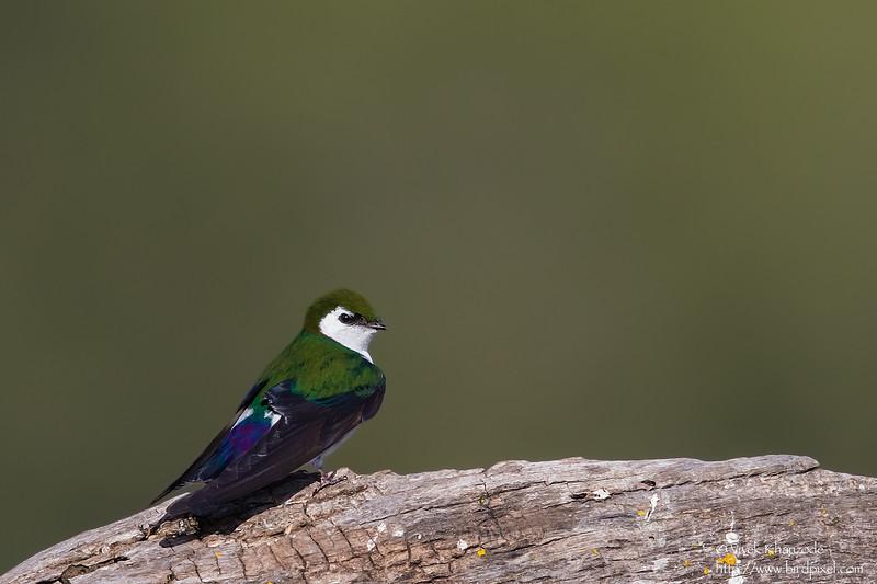 Violet-green Swallow - Los Altos, CA, USA
