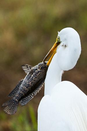 03_Everglades - Great White Egret